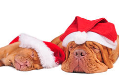 Dogs with Christmas Hats Stock Images