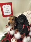 Dogs at Christmas stock images