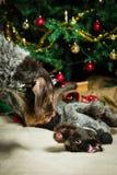 Dogs and Christmas tree Stock Image