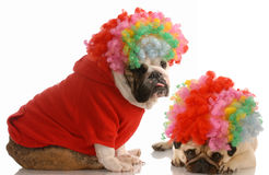 Dogs clowning around. English bulldog and pug dressed up as clowns Stock Photography