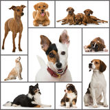 Dogs collage Royalty Free Stock Images