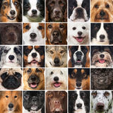 Dogs collage. Collage of many pedigree dogs Stock Image