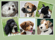 Dogs,  collage. Collage with six young dogs Stock Images