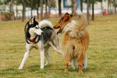 The dogs of Collie and husky. The Collie dog playing with a husky. they are very happy Royalty Free Stock Image