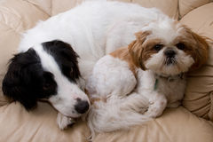 Dogs on a comfy chair. Two dogs curled up on a comfy chair Stock Photo