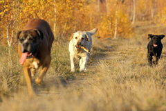 Dogs coming with a stick Royalty Free Stock Images