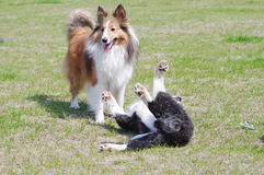 Dogs communication. Shetland sheepdog and border collie playing in the park Stock Photography