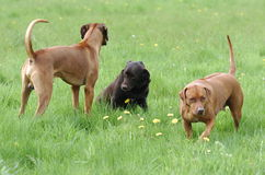 Dogs communication. Of one devote Labrador Royalty Free Stock Photography
