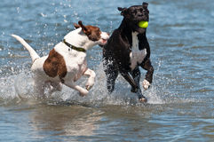 Dogs competing for the ball in the water Royalty Free Stock Images