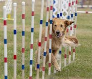 Dogs competition stock photos