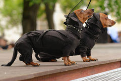 Dogs in costume during Dachshund parade Stock Photography