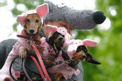 Dogs in costumes during Dachshund parade royalty free stock photos