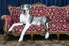 Dogs on couch. Big great dane resting on couch in studio Stock Photography