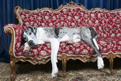 Dogs on couch. Big great dane resting on couch in studio Royalty Free Stock Image