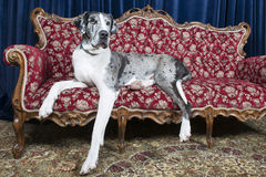 Dogs on couch. Big great dane resting on couch in studio Royalty Free Stock Images