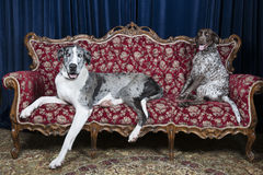 Dogs on couch. Big great dane resting on couch in studio with pointer Stock Image