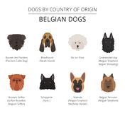 Dogs by country of origin. Belgium dog breeds. Infographic templ. Ate. Vector illustration Royalty Free Stock Image