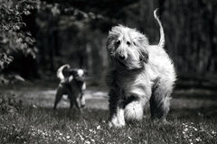 Dogs in countryside. Black and white view of two dogs running in countryside royalty free stock images