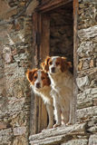 Dogs Couple Leaning out a Window Royalty Free Stock Photo