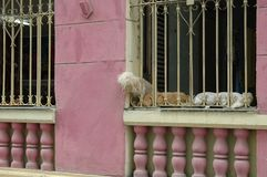 Dogs cuba Royalty Free Stock Photography