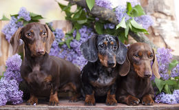 Dogs Dachshund Royalty Free Stock Photo