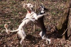 Dogs dance Stock Photo