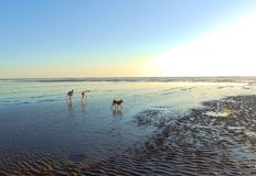 Dogs on dawn beach Royalty Free Stock Photos