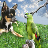 Dogs Day Out. Chihuahua laying on the grass looking at a parrot Stock Photo