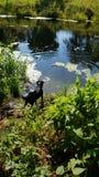 Dogs Desire To Swim stock image