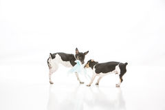 Dogs destroy potty pad. Two Rat Terrier puppies isolated on white background tear up and destroy dog training potty pads royalty free stock photos