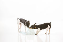 Dogs destroy potty pad. Two Rat Terrier puppies isolated on white background tear up and destroy dog training potty pads stock photo