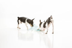 Dogs destroy potty pad. Two Rat Terrier puppies isolated on white background tear up and destroy dog training potty pads royalty free stock photography