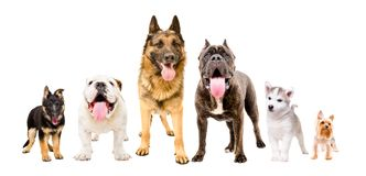 Dogs of different breeds standing together. Isolated on white background Royalty Free Stock Photography