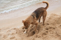 Dogs are digging. Sand, playing happily on the beach Royalty Free Stock Photos