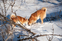 Dogs digging snow. Friendship and fun. Stock Photos