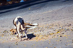 Dogs. Dog looking at another dog laying dead on a road Stock Photography