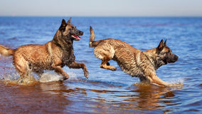 Dogs Royalty Free Stock Photo