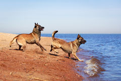 Dogs Royalty Free Stock Images