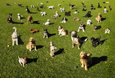 Dogs Dog Park Training. A lot of dogs at the park Royalty Free Stock Images
