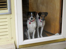 Dogs at the door. Two medium sized dogs standing looking out through a glass door. Older home stock images