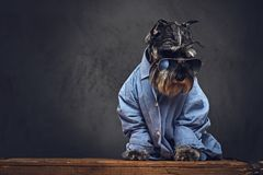 A dogs dressed in a blue shirt and sunglasses. Studio portrait of fashionable schnauzer dogs dressed in a blue shirt and sunglasses Royalty Free Stock Image
