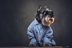 A dogs dressed in a blue shirt and sunglasses. Studio portrait of fashionable schnauzer dogs dressed in a blue shirt and sunglasses Royalty Free Stock Photography