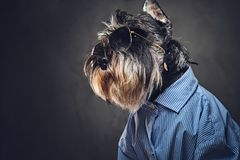 A dogs dressed in a blue shirt and sunglasses. Studio portrait of fashionable schnauzer dogs dressed in a blue shirt and sunglasses Stock Photos