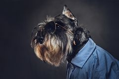A dogs dressed in a blue shirt and sunglasses. Royalty Free Stock Images