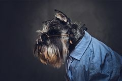 A dogs dressed in a blue shirt and sunglasses. Stock Image