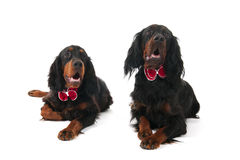 Dogs dressed for the party Royalty Free Stock Photo