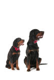 Dogs dressed for the party Royalty Free Stock Images