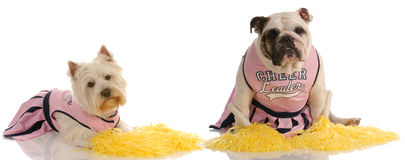 Dogs dressed up as cheerleaders Royalty Free Stock Images