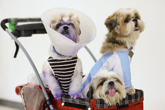 Dogs Dressed up in Pet stroller. Three dresses up dogs in pet stroller Royalty Free Stock Images