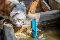 Dogs are drinking water in ponds. stock photo